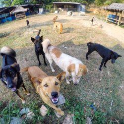 Ein weiterer glücklicher Tag bei Happy Dogs Koh Chang