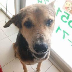 Schützling und Strassenhund Old Man hat eine Entzündung am Ohr