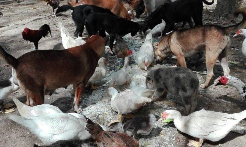 Mr. Siam, 16 Hunde, 3 Schweine und etliche Hühner in Not