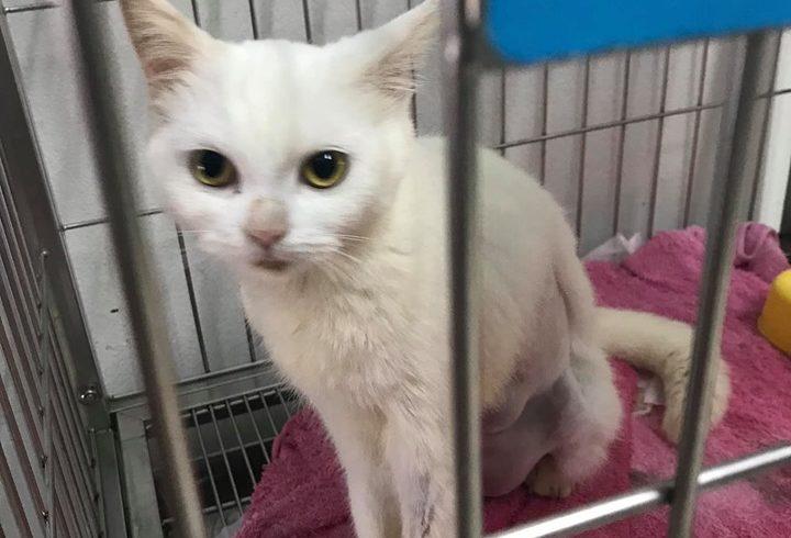 Katze mit Mammatumoren muss operiert werden